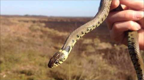 Grass Snakes and Dancing Adders - April 2012