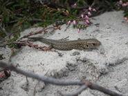 Juvinille Sand Lizard