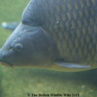 List Of British Freshwater Fish British Wildlife Wiki Fandom