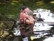 Male Bullfinch Grabbed Frame 1
