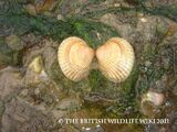 Common Cockle