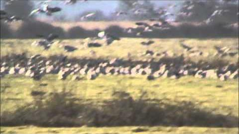 Pink Footed Geese Flying in the Air