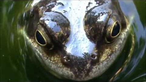 The European Common Frog (Rana temporaria) - Herping Late Summer 2012! D