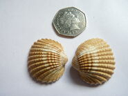 Cockle 50p