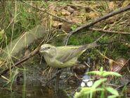 Female Crossbill