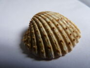 Spiny Cockle
