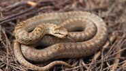 Smooth snake.jpeg