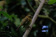 Fledgeling robin