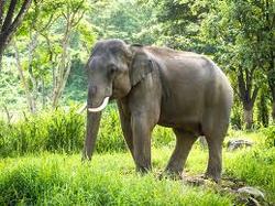 Asiatischer Elefant.png