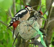 Buntspechte - Männchen (li.) mit Jungvogel (re