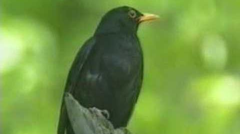 Gesang der Amsel, Song of a Blackbird