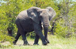 Afrikanischer Elefant.jpg