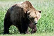 Ursus arctos Tierlexikon.wiki