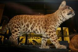 Pumapard.jpg
