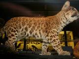Pumapard
