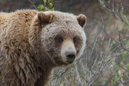Grizzly Bear (Ursus arctos ssp.)