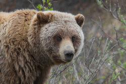 Grizzly Bear (Ursus arctos ssp.).jpg