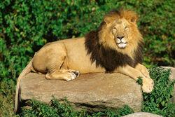 Löwenmännchen.jpg