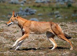 Äthiopischer Wolf.jpg