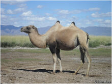 Trampeltier (Camelus ferus).jpg