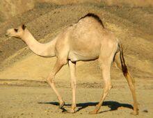 Dromedar (Camelus dromedarius).jpg