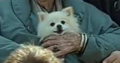 Freddy (Rose's Pomeranian)