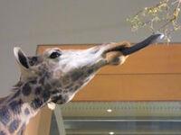 242px-Giraffe.jpg