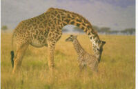 225px-Giraffewithbaby.jpg