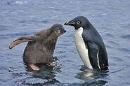 Adelie-penguin-chick-lg