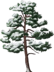 Snowy Old Pine.png