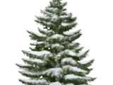 Snowy Small Fir