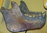 Gigantopithecusjaw