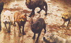 Wolves-in-BDp1-twilight-series-33196202-500-300.png