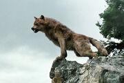 180px-Wolfonrocks.jpg