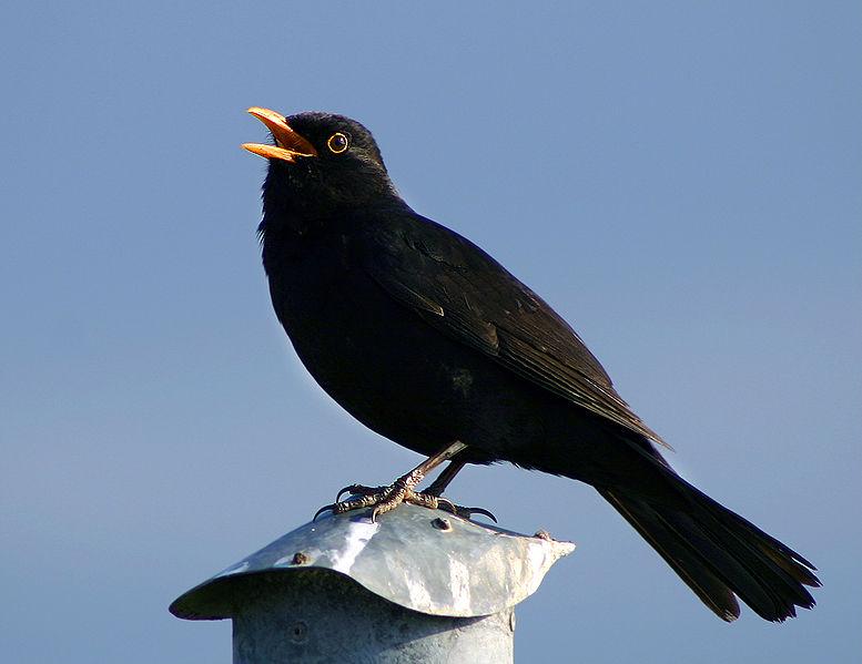 Bird vocalization