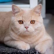 Cream-cat