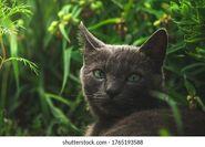 Gray-cat-green-eyes-lies-in-grass