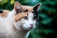 5fc67a4fa680cf2a84751b26 Calico cats are very rare