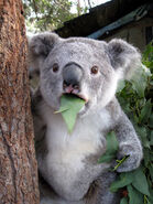 Koala-meme