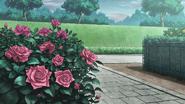Rose 1cc
