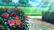 Rose 1cf