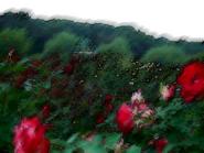 Umiog rose 2c