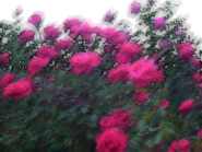 Umiog rose 1c