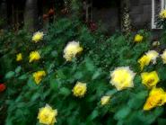 Umiog rose 1d
