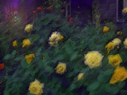 Umiog rose 1dp