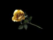 Umiog rose t1a