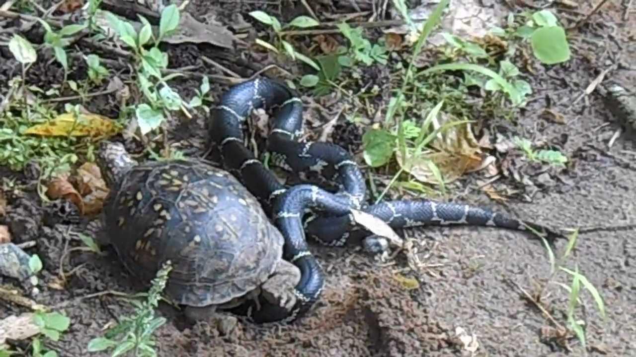 Titanaboa vs Giant Turtle