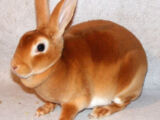 Copper (Rabbit)