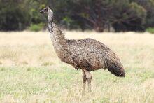 1200px-Emu-wild.jpg