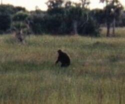 Actual photo of skunk ape.jpg